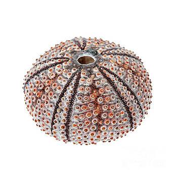 Sea urchin by Elena Elisseeva