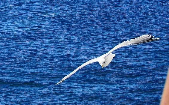 John Hartman - Seagull 1
