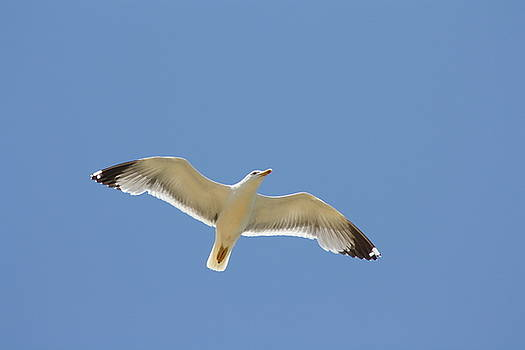 Seagull by Alexis F