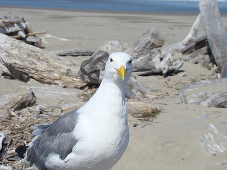 Baslee Troutman - Seagull Bird art prints Coastal Beach Driftwood