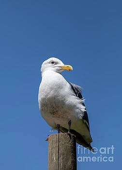 Seagull Closeup Portrait by Brandon Alms