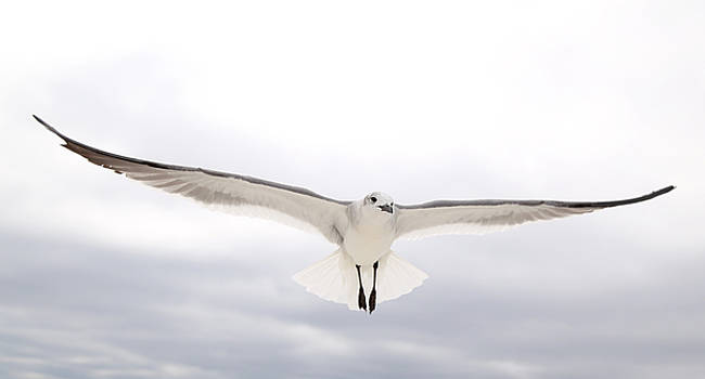 Seagull Coming by Jim Clark