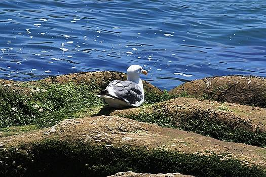 Seagull Contemplation by Judy C Moses