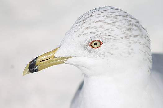 Seagull by Danielle Allard