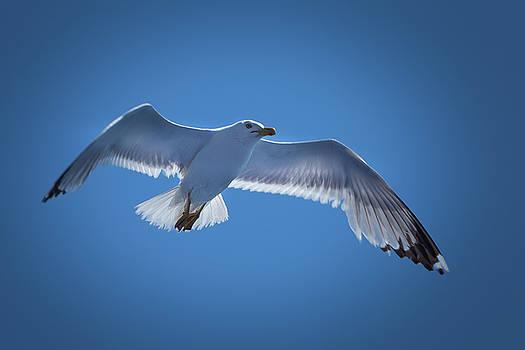Seagull by Davor Zerjav