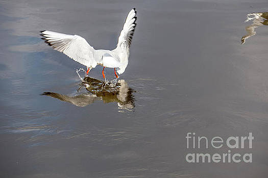 Seagull fishing by Odon Czintos