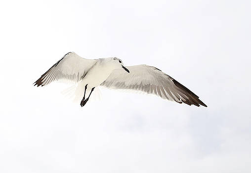 Seagull Hovering by Jim Clark