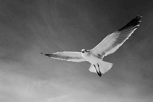 Seagull in Flight 2 by Jim Clark