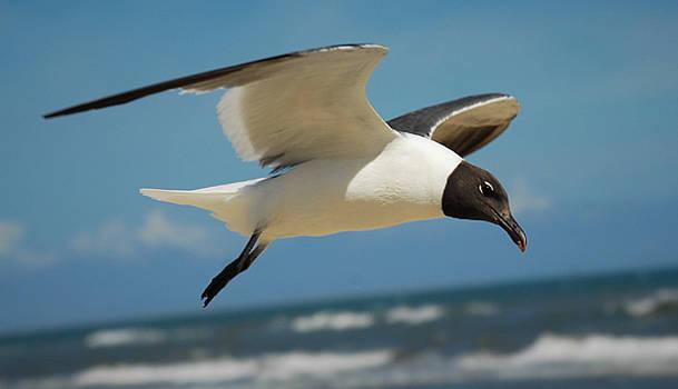 Seagull in Flight by Debbie Morris