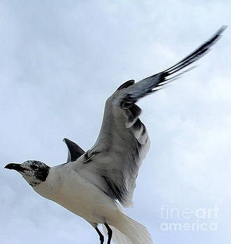 Seagull in Flight II by Jeanne Forsythe