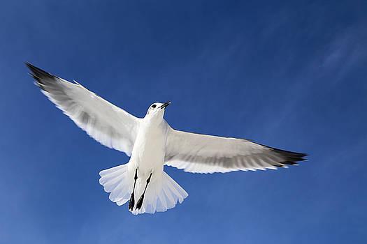 Seagull in Flight by Jim Clark