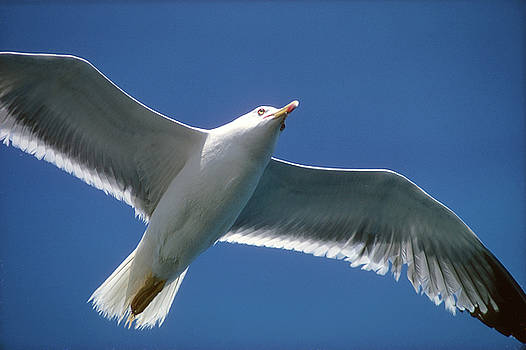 Seagull in Flight over Key West by Carl Purcell