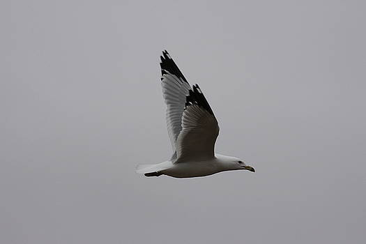 Seagull in flight by Richard Mitchell