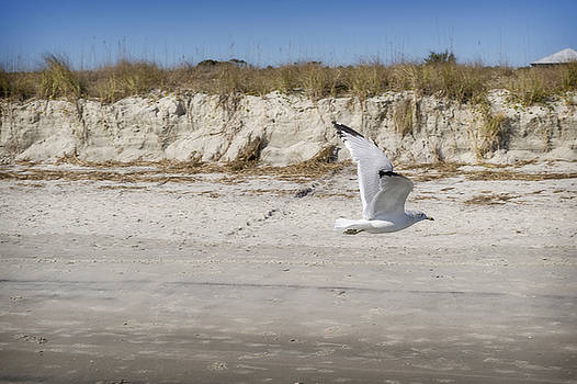 Seagull in Flight by Steve Shockley
