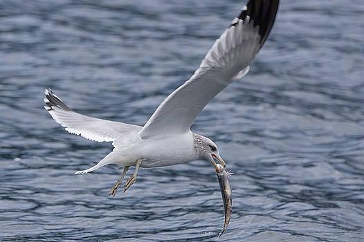 Seagull by John Pavolich