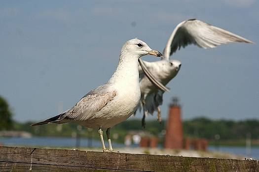 Seagull Landing by Maria Young