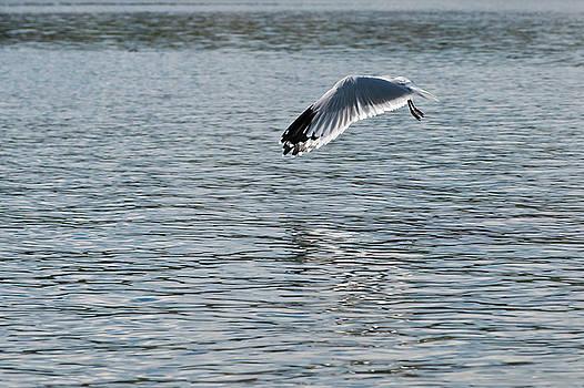 Pedro Cardona Llambias - Seagull mistery
