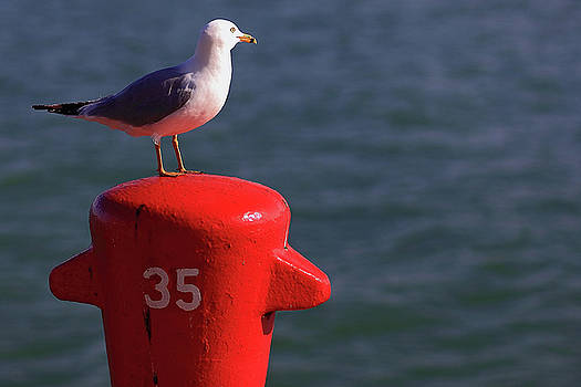 Seagull number 35 by Brian Pflanz