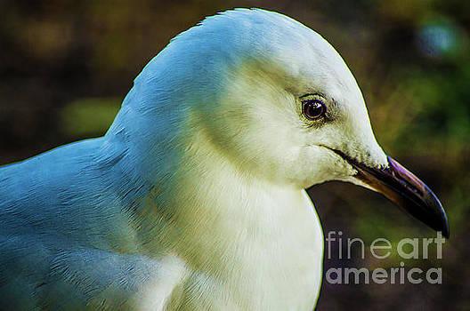 Seagull Portrait 1  by Naomi Burgess
