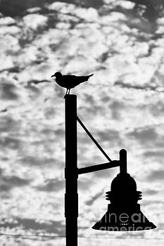Seagull Silhouette 2 by Kelly Nowak