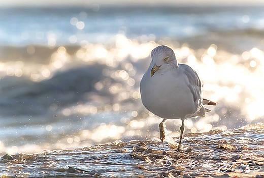 Seagull Stroll Wlaking on Beach by J Thomas