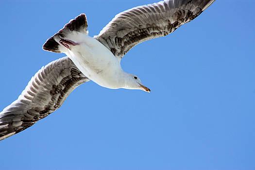 Nick Gustafson - Seagull surveying