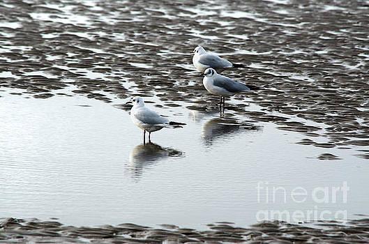 Spade Photo - Seagull Trio