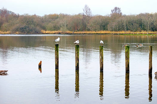 Seagulls and Posts by David Ridley