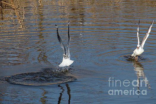 Seagulls fight by Odon Czintos