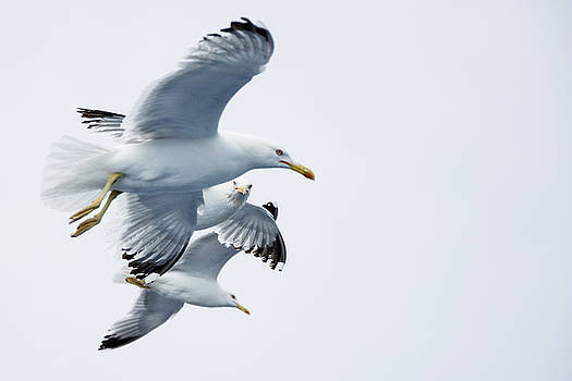 Newnow Photography By Vera Cepic - Seagulls flying