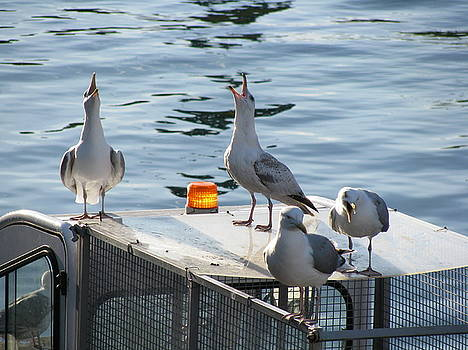 Seaguls in Copenhagen 2. Singing or just shouting by Cristina Rettegi