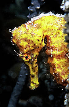 Seahorse by Raymond Jusseaume