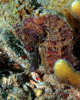 Seahorse, Sea Pony, Red Sea, Israel 2 by Pauline Walsh Jacobson