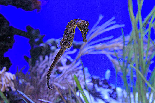 Seahorse by Shoal Hollingsworth