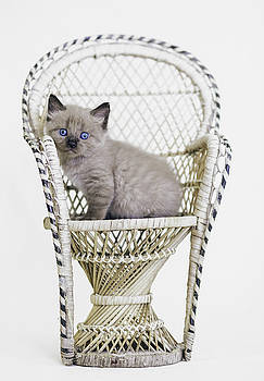 Awwdorable Seal Point Kitten in Wicker Chair - Animal Rescue Portraits by Andrea Borden