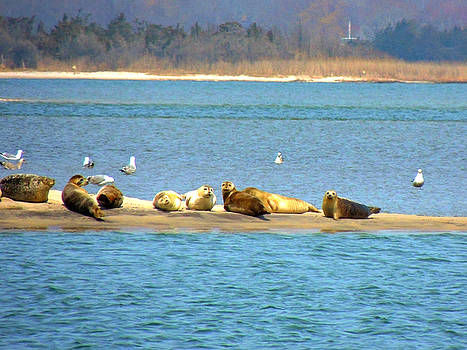 Kimberly Perry - Seals Hauled Out  at Cupsogue Beach