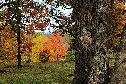 Rosanne Jordan - Searching for Maples