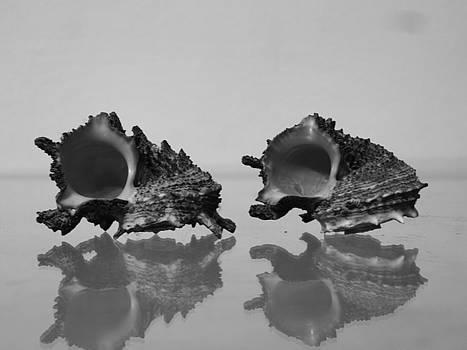 Seashell Series Angaria by Will Van Niekerk
