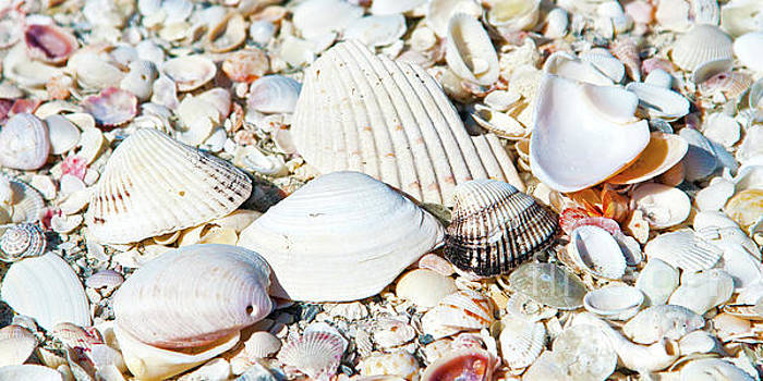Seashells on the Beach on Vacation by ELITE IMAGE photography By Chad McDermott