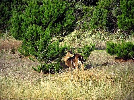 Joyce Dickens - Seaview Deer Two