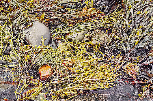 Seaweed on the Rocks Photo by Peter J Sucy