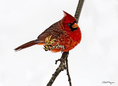 Second Cardinal by Skip Tribby