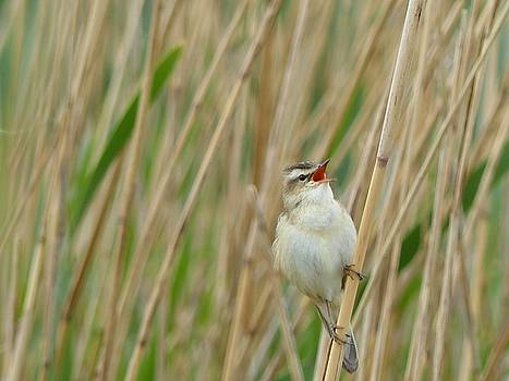 Sedge warbler herelding a new day by Sarah Fowle