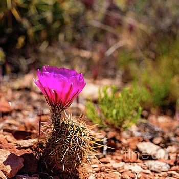 Sedona Cactus Flower by Raul Rodriguez