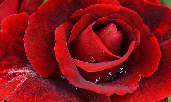 Red Rose with Raindrops by John Arthur Robinson