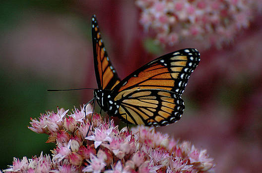 Sedum Butterfly by Melissa Lane