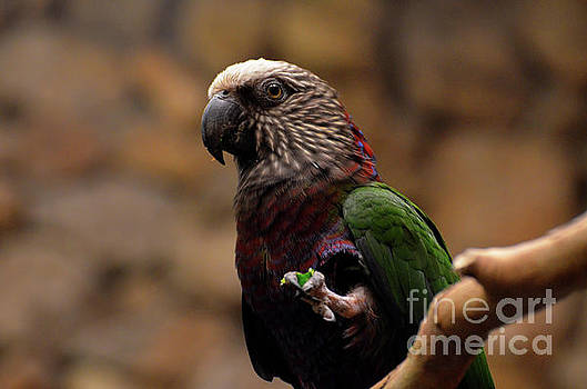 Seed Clutched in the Foot of a Hawk Headed Parrot by DejaVu Designs