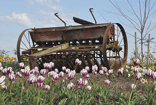 Seed Drill Tulips by Brent Easley