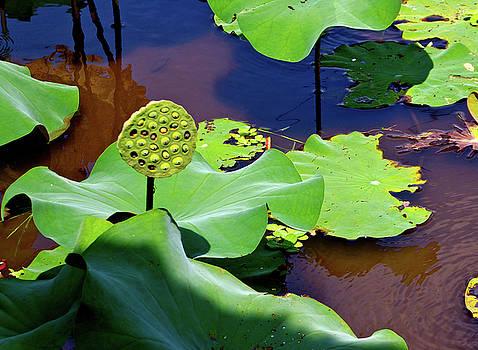 Yen - Seeds of Lotus