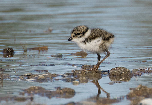 Dee Carpenter - Semipalmated Plover Chick